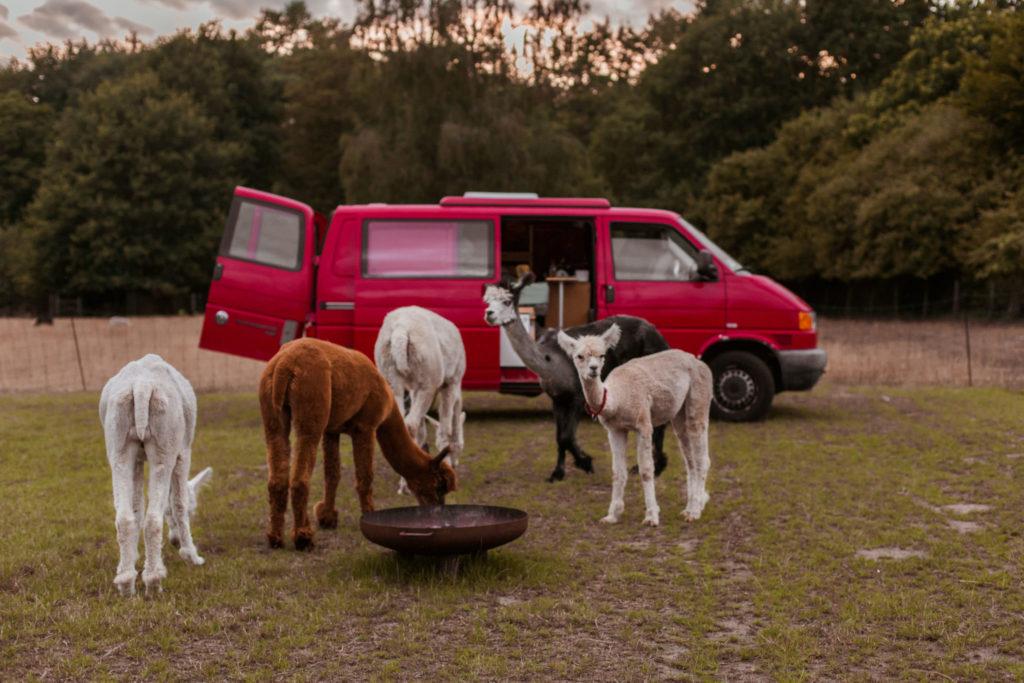 Slapen met alpaca's in de buurt van Brussel